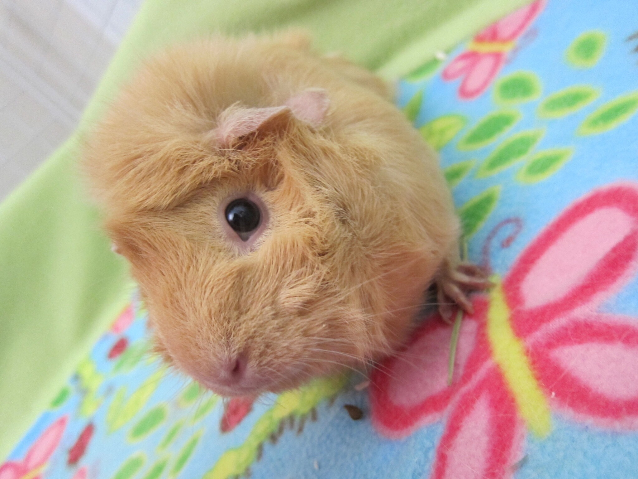 Photograph of a beige guinea pig on floral bedding